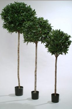 Pair of Standard Topiary Sweet Bay Tree Laurus Nobilis H150cm
