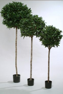Pair of Standard Topiary Sweet Bay Tree Laurus Nobilis H180cm