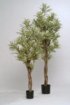 Duo Pack Dracena Tree Marginata Variegata 120cm