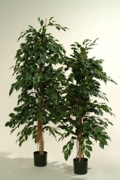 Duo Pack Ficus Ladder Tree 165cm each high Green leaves
