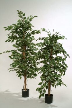 Duo Pack Ficus Ladder Tree 165cm each high Mix Green Var leaves