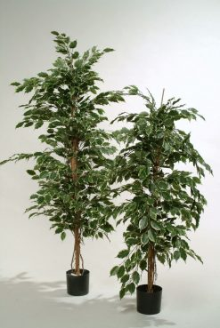 Duo Pack Ficus Ladder Tree 180cm each high 1155 leaves Mix Green/Var