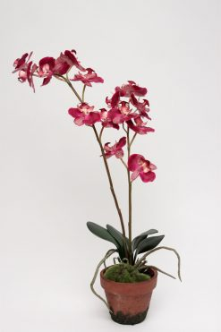 Orchid Phalaenopsis Fuchsia Potted 45cm Pack of Two