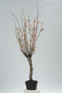 Duo Pack Large Apple Blossom Tree 160cm