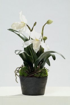 Orchid Lady's Slipper White in Soil 35cm High Pack of Four
