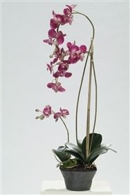 Orchid Phalaenopsis Pink in Soil 85cm High Pack of Two