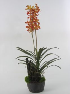 Orchid Spider Flower Salmon in Soil Pack of Two