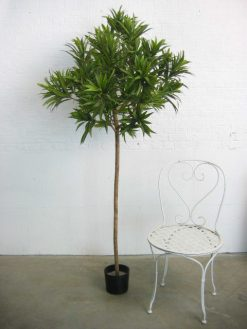 Duo Pack Dracena Reflexa 170cm each high Green Leaves