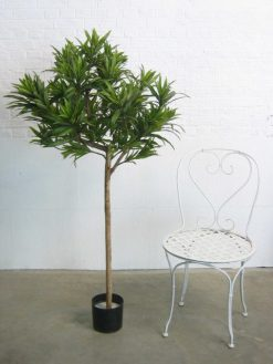 Duo Pack Dracena??Reflexa 130cm each high??Green Leaves