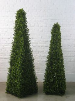 Boxwood Buxus Box Pyramid Duo Pack 150cm