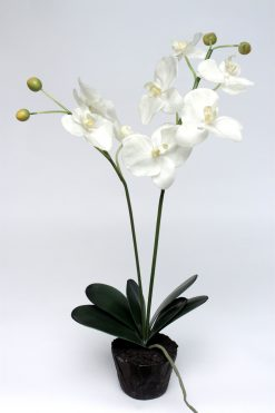 Orchid Phalaenopsis White in Soil Double Stem 60cm Pack of Four