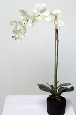 Orchid Phalaenopsis White in Soil 80cm High Pack of Four