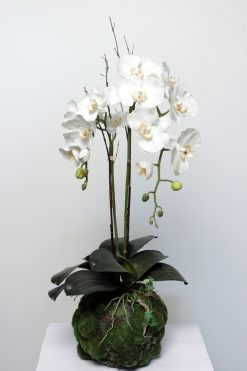 Orchid Phalaenopsis White in Plant Pot 75cm High Pack of Two