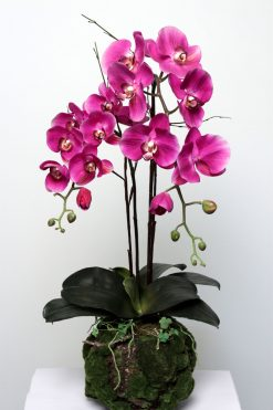 Orchid Phalanopsis Fuchsia in Plant Pot 75cm High Pack of Two
