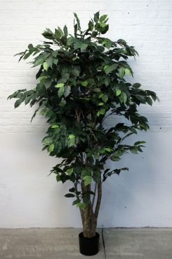 Duo Pack Ficus Tree 175cm each high Two Tone Green Leaves