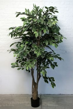 Duo Pack Ficus Tree 175cm each high Variagated leaves