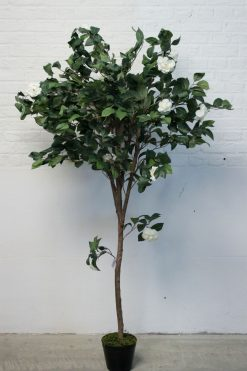 Duo Pack Camellia Tree 140cm each high with Cream Blooms