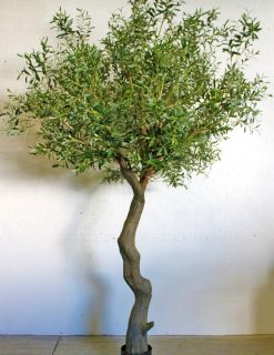 Giant Olive Tree Height 280cm Width 180cm Green Leaves
