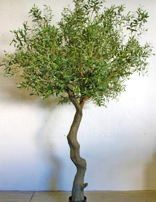 Giant Olive Tree Height 280cm Width 180cm Green Leaves 1