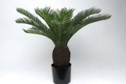 Pair of Baby Cycas Palms both??65cm high