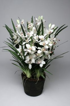 Orchid Cymbidium White Ex Large 130cm in Soil with pot