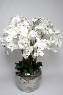 Orchid Phalaenopsis White Ex Large 150cm in Silver Pot