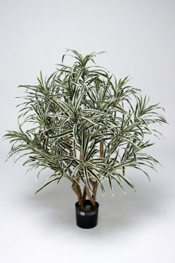 Duo Pack Dracena Anita 100cm each high Variagated Leaves