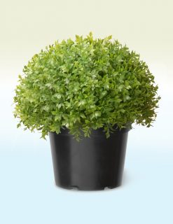 Artificial Globe Japanese Holly Plant - 13""
